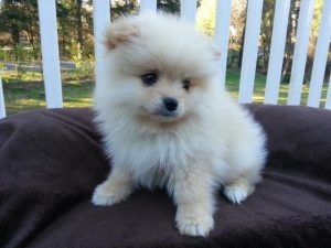 small-cute-like-teacup-white-baige-pomeranian-puppy-7-weeks-old-americanlisted_41420475.jpg