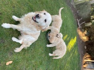 Golden retriever puppies18.jpg