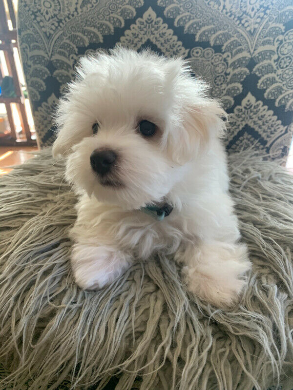 MULTIGENERATIONAL MALTIPOO ONLY 1 AVAILABLE3.jpg