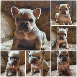 french bulldog55.jpg