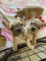french bulldog57.jpg