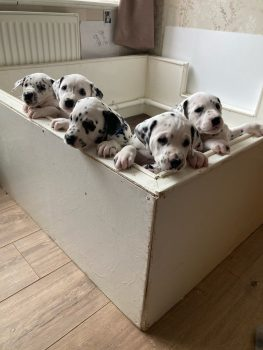 kc-registered-dalmatian-puppies-6055bb86b5c17.jpg